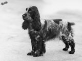 Tracey Witch of Ware Crufts  Best in Show  1948 and 1950
