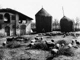 Restone (Figline Valdarno) Haystacks and Grazing Sheep