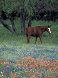 Texas Paintbrush and Bluebonnets  East of Lytle Horse  Texas  USA