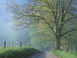 Foggy Road and Oak Tree  Cades Cove  Great Smoky Mountains National Park  Tennessee  USA