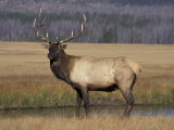 Elk Bull in Meadow  Yellowstone National Park  Wyoming  USA