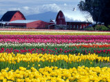 Tulip Display Field  Washington  USA