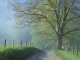 Foggy Road and Oak  Cades Cove  Great Smoky Mountains National Park  Tennessee  USA