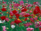 Shirley Mixed and California Poppy Field  Washington  USA
