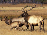 Elk in Meadow  Yellowstone National Park  Wyoming  USA