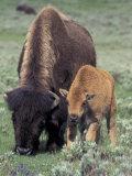 Bison and Calf  Yellowstone National Park  Wyoming  USA