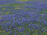 Blue Bonnets and Arnica  North of Marble Falls  Texas  USA