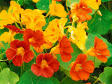 Nasturtium Flowers  Tropaeolum  Seattle  Washington  USA