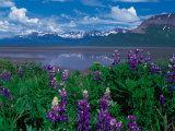 Arctic Lupin  Alaska  USA