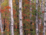 Forest Landscape and Fall Colors  North Shore  Minnesota  USA