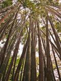 Skyward View in Bamboo Forest  Selby Gardens  Sarasota  Florida  USA
