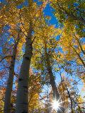 Aspen Trees with Sunlight Coming Through  Alaska  USA