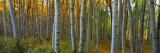 Aspen Grove  Kebler Pass  Colorado  USA