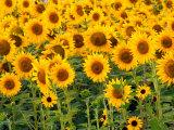 Sunflowers  Colorado  USA