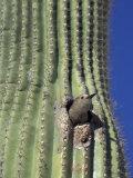 Saguaro with Gila Woodpecker  Tucson Botanical Gardens  Tucson  Arizona  USA