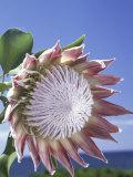 King Protea with Blue Sky  Maui  Hawaii  USA
