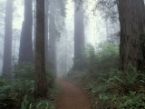 Damnation Trail in Fog  Redwoods State Park  Del Norte  California  USA