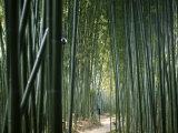 Bamboo Forest  Ginkakuji Temple  Kyoto  Japan