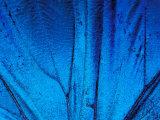 Detail of Blue Morpho Wing  Barro Colorado Island  Panama