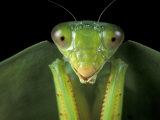 Praying Mantis  Barro Colorado Island  Panama