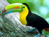 Keel Billed Toucan with a Cicada  Borro Colorado Island  Panama