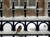 A Sparrow Surveys its Surroundings as It Stops to Rest on a Snow-Covered Fence