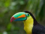 Keel-billed Toucan on Tree Branch  Panama