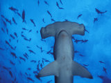 Hammerhead Shark from Below  Galapagos Islands  Ecuador