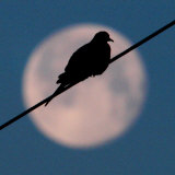 A Mourning Dove Sits Atop a Utility Wire as the Full Moon Sets Over Grand Isle