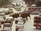 Thai Elephants Maneuver Their Way Through a Bangkok Traffic Jam in Downtown