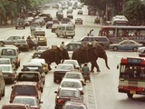 Thai Elephants Maneuver Their Way Through a Bangkok Traffic Jam in Downtown Papier Photo