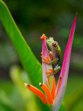 Red-Eye Tree Frog  Costa Rica
