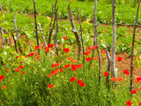 Poppy Field  Krk  Croatia