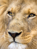 Male Lion at Africat Project  Namibia