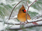 Female Northern Cardinal in Snowy Pine Tree
