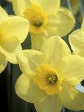 Daffodils  Cache Valley  Utah  USA