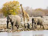 African Elephants and Giraffe at Watering Hole, Namibia Papier Photo par Joe Restuccia III