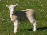 New Lamb  South Island  New Zealand
