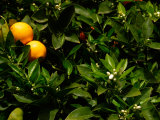 Orange Tree  Tenerife  Canary Islands  Spain
