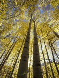 Fall-Colored Aspen Trees  Stevens Pass  Washington  USA