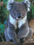 Koala, Australia Papier Photo par John & Lisa Merrill
