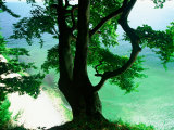 Deep Green Tree and Green-tinted Sea  Jasmund National Park  Island of Ruegen  Germany