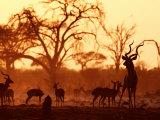Adult Male Kudu with Impala at Pump Pan Waterhole  Chobe National Park  Botswana