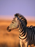 Portrait of Young Burchells Zebra (Equus Burchelli)  Etosha National Park  Namibia