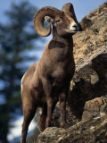 Rocky Mountain Bighorn Sheep on Side of Mountain  Yellowstone National Park  USA
