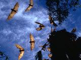 Flying Foxes (Bats) at Dusk  Mataranka  Australia