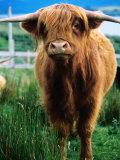 Highland Cow  Hope  United Kingdom