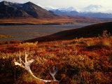 Caribou Antlers on the Tundra in Denali National Park  Denali National Park & Reserve  USA