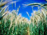Barley Field in July  Denmark