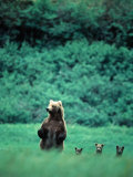 Brown Bear and Cubs  Mikfik Creek  USA